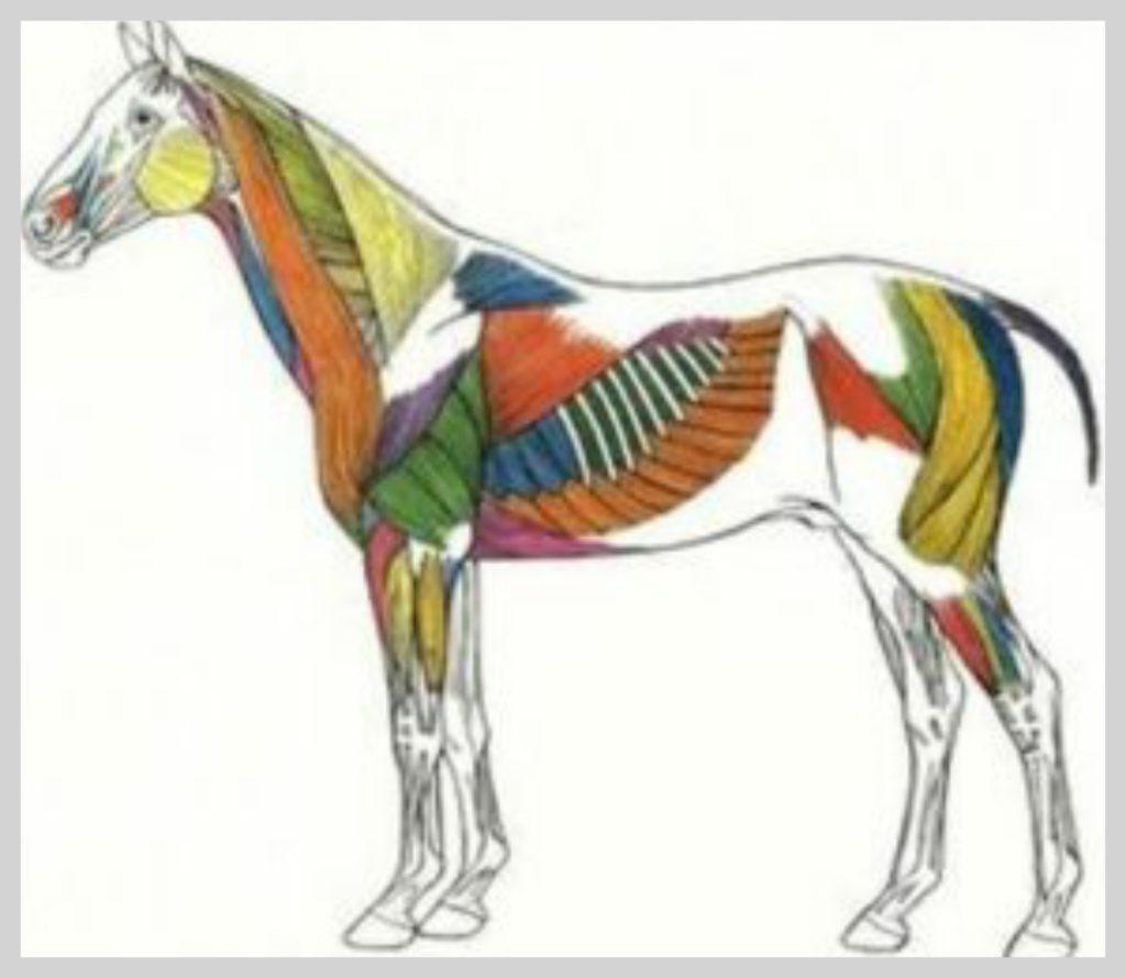 spieren paard